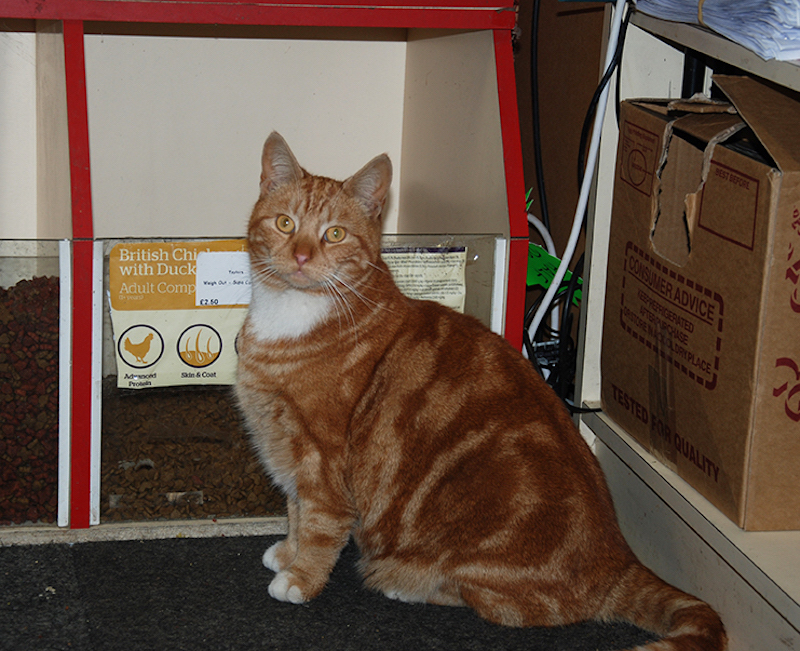 Ginger Cat in Store